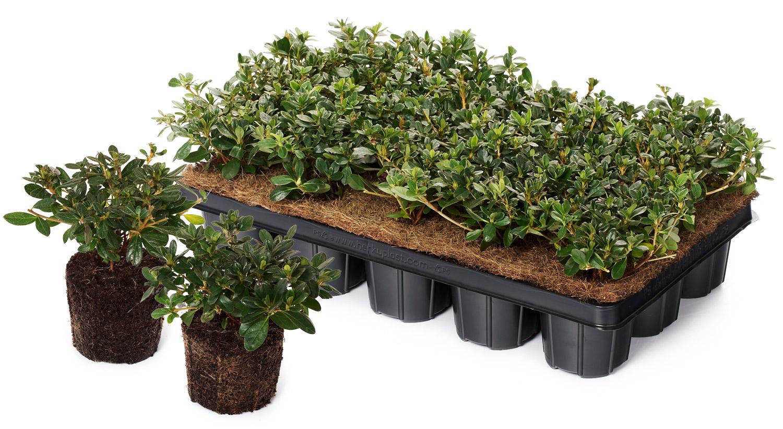 jungpflanzen rhododendron. Black Bedroom Furniture Sets. Home Design Ideas